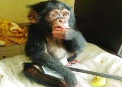 Trafic d'espèces protégées: 2 trafiquants de chimpanzé mis aux arrêts